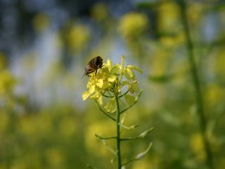 Tubinger 49a - bijenmengsel